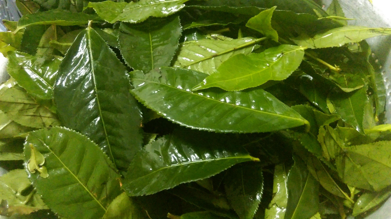 Tự làm bột trà xanh tại nhà cực đơn giản