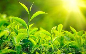 Kem trị mụn bọc từ trà xanh